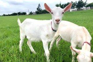 Yinong Goat Farm